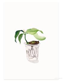 postkaart | Mangoplant