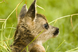 Brillendoekje Bambi