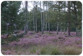 Placemat:  Heidelandschap met berkenbomen