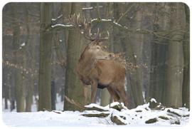 Placemat: Edelhert in de sneeuw