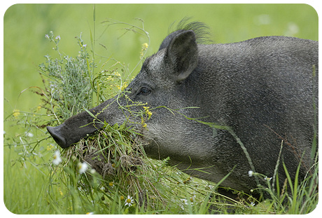 Placemat: Wild zwijn verzameld groen voor de bouw van een ketel (nest)