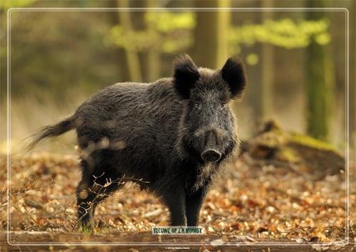 Placemat: Nieuwsgierig wild zwijn in beukenbos