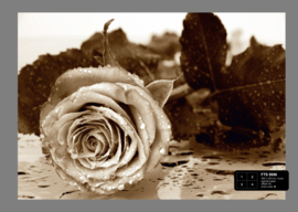 Fotobehang AG Design FTS0086 Black & White Rose 4-d