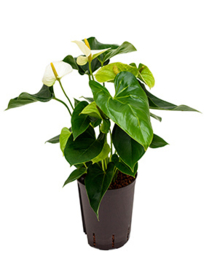 Anthurium sharade white