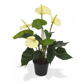 Anthurium 40 cm creme in 10 cm kweekpot