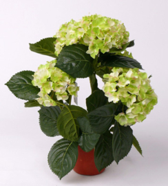 Hortensia in pot groen