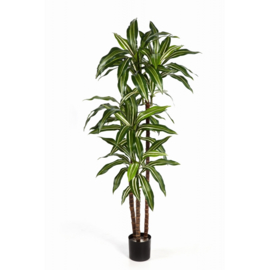 Dracaena Fragans white stripe