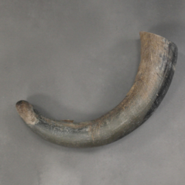 Cow horn raw finish