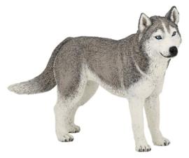 Siberische huskey 54035