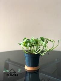 Epipremnum N'Joy (hangplant)