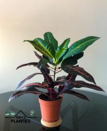 Codiaeum varietatum