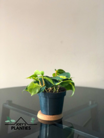Philodendron Scandens  (hangplant)