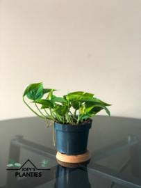 Epipremnum Aurum (hangplant)