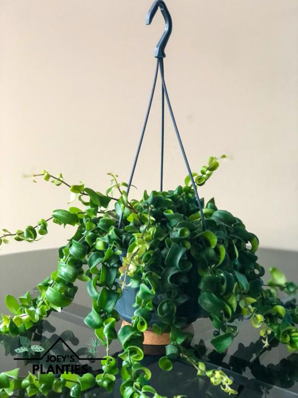 Aeschynanthus Radicans (hangplant)