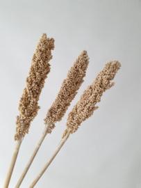 Indian Corn White wash