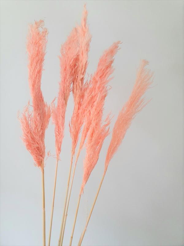 Pampas grass Pink