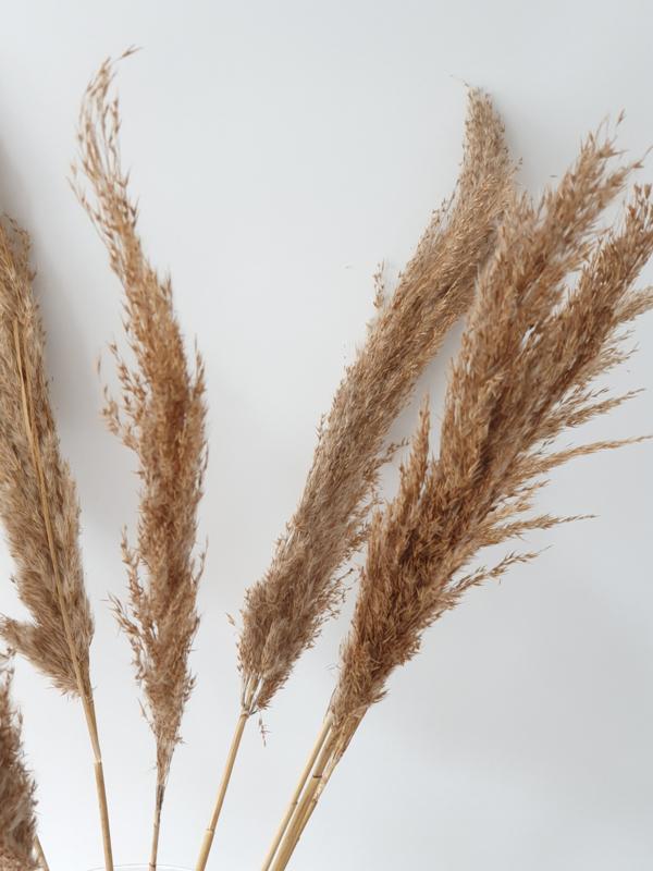 Wild reed pluimen