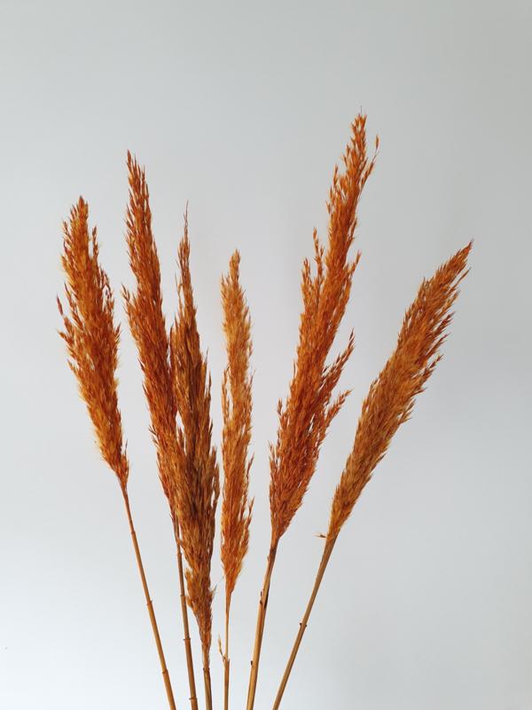 Wild reed pluimen red