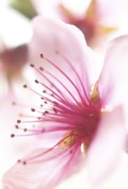 1 ltr. Lotus-cherry opgietconcentraat - EXTRA GECONCENTREERD