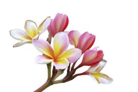 1 ltr. Fragnipani parfum voor verstuiver