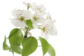 1 ltr. Perenbloesem parfum voor verstuiver