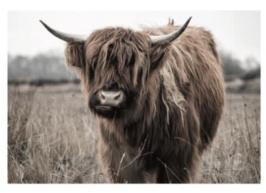 Tuinposter Schotse Hooglander bruin