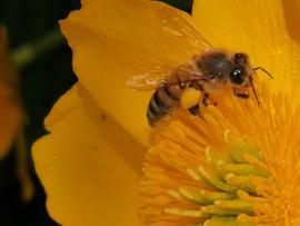 De gezondheidsvoordelen van bijenproducten