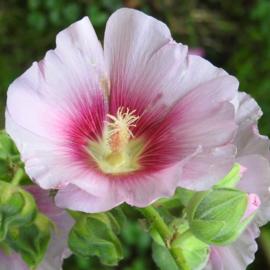 Roze roos op een stokje