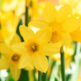 Narcis Tête à Tête 25 stuks