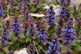 Hommel border laag-middelhoog 24 planten