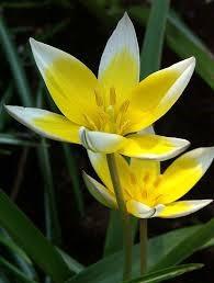 Tulipa tarda, laag wild tulpje 25 stuks,
