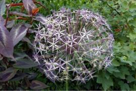 Allium grandiflorum Christophii, grootbloemige sierui: 3 stuks