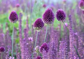 Allium sphaerocephalon, paarse sierui 10 stuks
