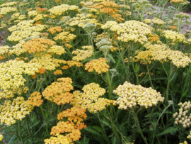 Vaste planten pakket laag-middelhoog