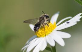 Workshop Bijen herkennen 2 mei 2020