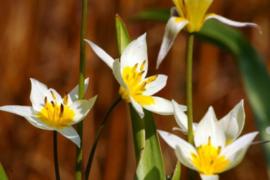 Tulipa turkestanica , wild tulpje 25  stuks,