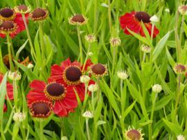 Vaste planten pakket middelhoog-hoog