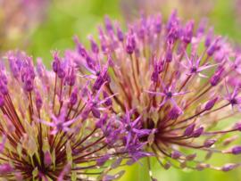 Allium grandiflorum Purple Rain, grootbloemige sierui: 5 stuks