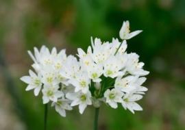 Allium cowanii, witte  sierui 10 stuks