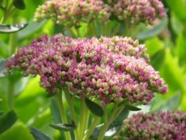 Hommel border middelhoog-hoog  24 planten