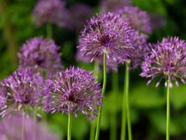 Allium grandiflorum Purple  Rain , grootbloemige sierui: 3 stuks