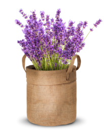 Kweektuin Lavendel