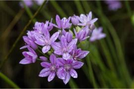 Allium unifolium, roze sierui 10 stuks