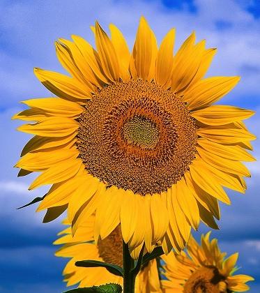 Zonnebloemen 10 gram sterk soort