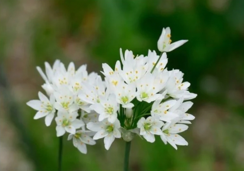 Allium cowanii, witte  sierui 25 stuks