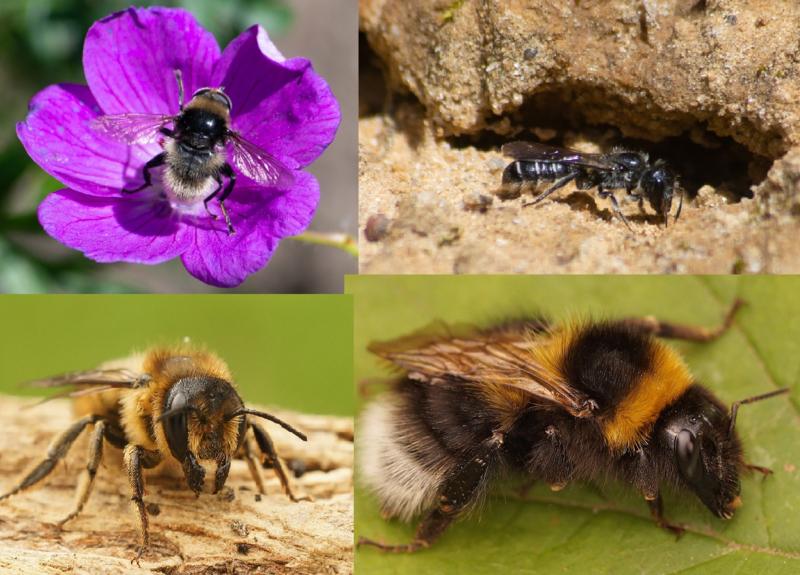 Workshop Bijen fotograferen 16 mei  2020