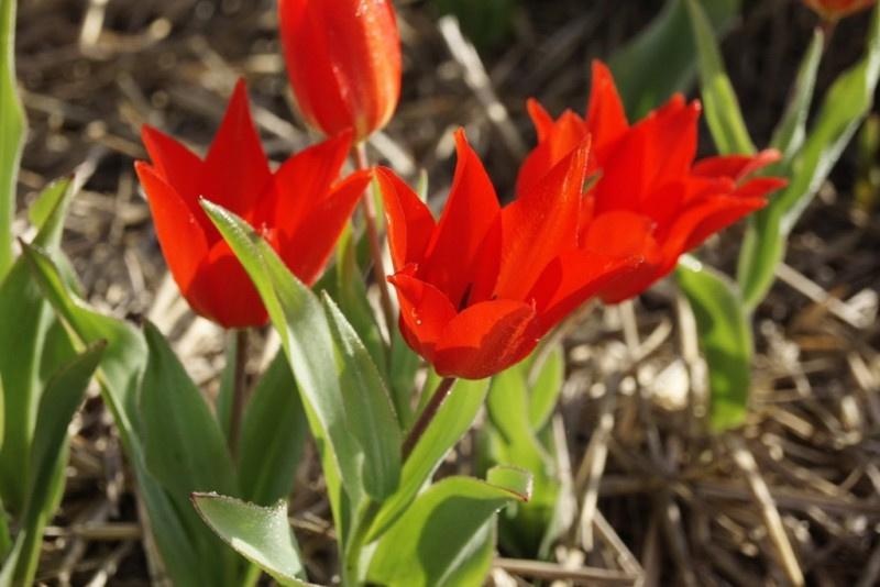 Tulipa praestans 'Zwanenburg'  10 stuks