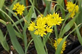Allium moly Jeanine, gele sierui 10 stuks