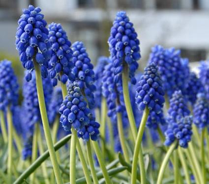 Muscari armeniacum, blauw druifje 25 stuks