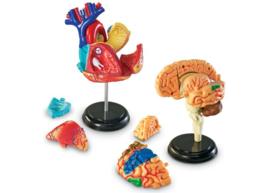 Anatomie modellen, complete set (4 modellen)